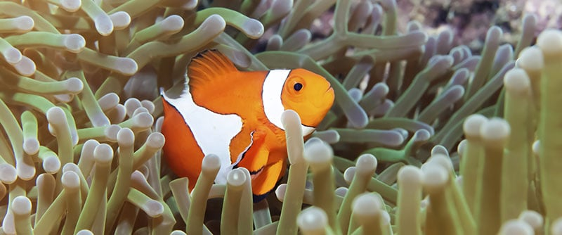 Diving Clownfish with Anemone